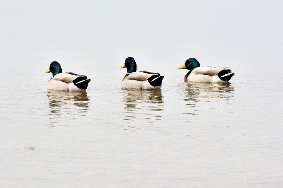 ducks-691058_1280-960x640.jpg